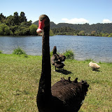 North Island - a black swan