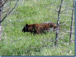 1325 Alberta Red Rock Parkway - Waterton Lakes National Park - a grizzly bear