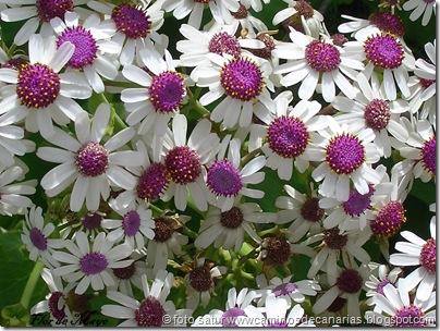 2003 Flor de mayo