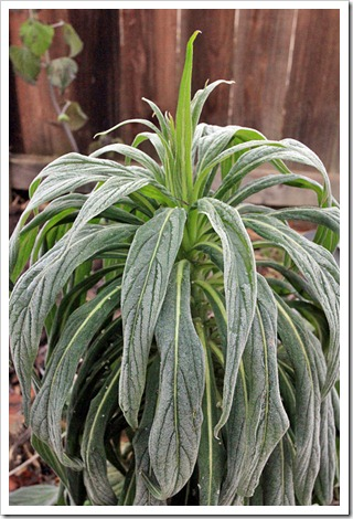121220_first_frost_Echium-Mr-Happy_01