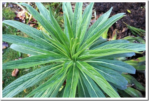 121220_first_frost_Echium-Mr-Happy_07
