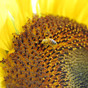 Carniolan Honey Bee