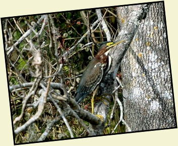 08 - Animals - Green Heron 2