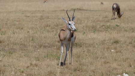 Fauna Africa de Sud: antilopa springbok