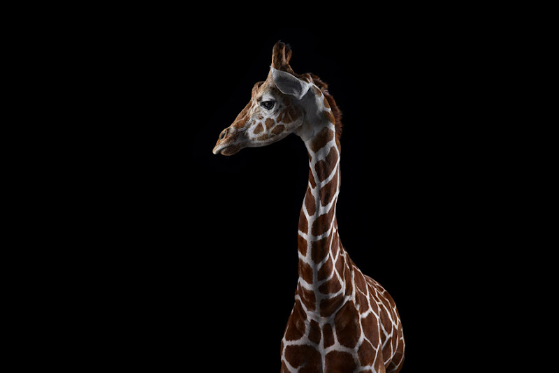 animal-photography-affinity-Brad-Wilson-giraffe-2.jpeg