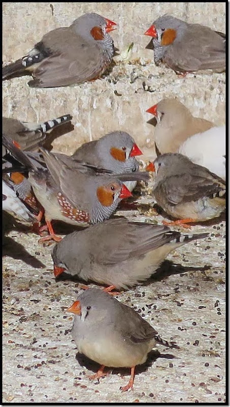0314zebrafinch2