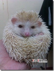 hedgehog,pet