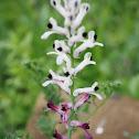 Flor de la Culebra