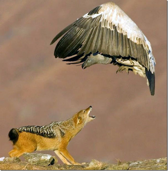 wolf-fighting-condor