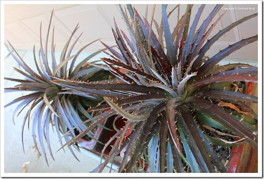 130915_Dyckia-Burgundy-Ice_16
