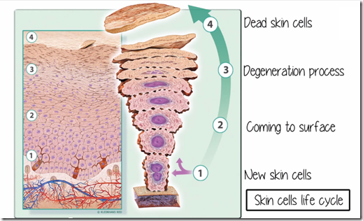 skin cells life cycle