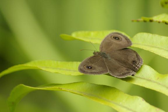 Ypthima pandocus sertorius FRUHSTORFER, 1911. Sepilok, 11 août 2011. Photo : J.-M. Gayman