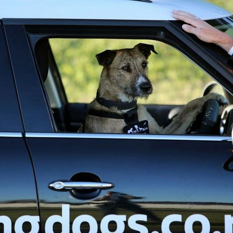 Homeless Dogs Learn to Drive in New Zealand