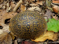 box turtle two