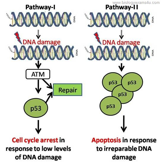 p 53 mediated cell cycle arrest and Apoptosis