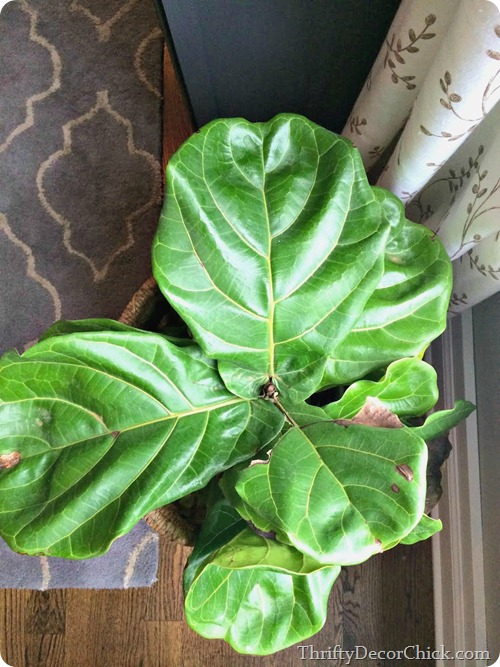 large fiddle leaf