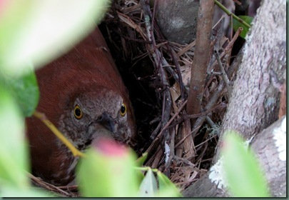 Brown Thrasher in nest