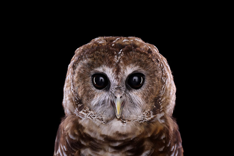 animal-photography-affinity-Brad-Wilson-mexican-spotted-owl.jpeg