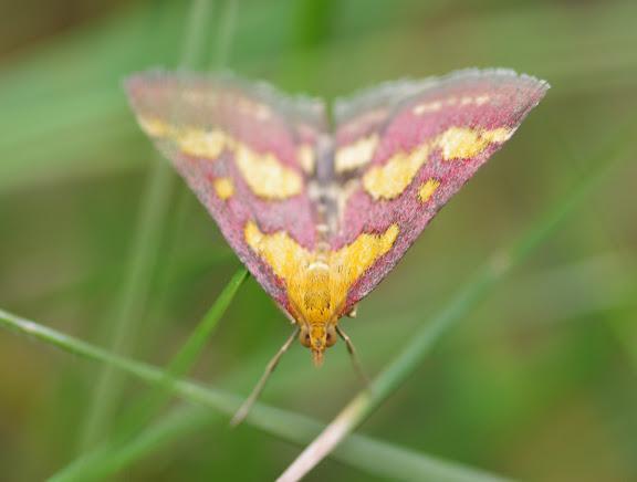 Crambidae : Pyraustinae : Pyrausta purpuralis (L., 1758). Les Hautes-Lisières (Rouvres, 28), 23 août 2012. Photo : J.-M. Gayman