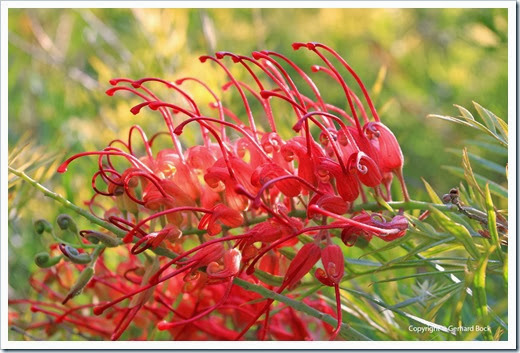 131124_UCD_Arboretum_AustralianCollection_Grevillea-Masons-Hybrid_02