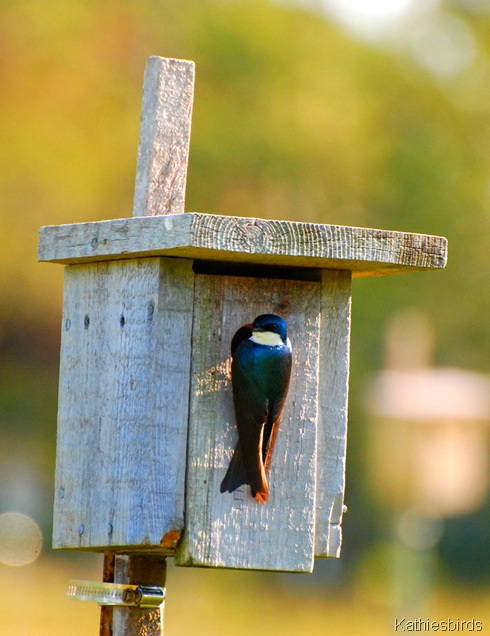 1. tree swallow-kab