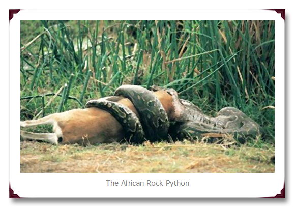 African Rock Python Snake