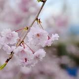 飯田市かざこし子どもの森公園の桜