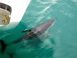South Island - Kaikoura - swimming with dolphins
