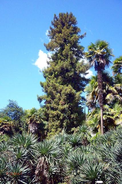 altissima sequoia.jpg