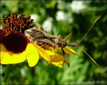 assassin bug0623 (1)