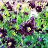 Columbine: Purple
