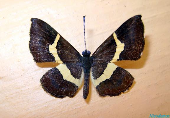 Riodinini : Notheme erota angellus STICHEL, 1910 (?). Pitangui (MG, Brésil), 10 janvier 2008. Photo : Nicodemos Rosa