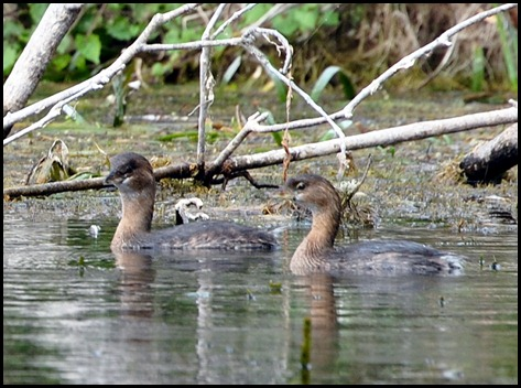08 - Animals - Pied-billed Grebe 1