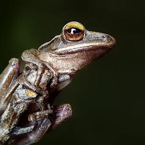 common tree frog by Hendrata Yoga Surya - Instagram & Mobile Android ( phone camera, common tree frog, kamera hp, katak pohon, amphibians )