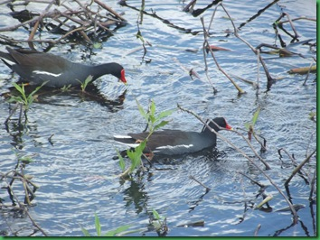 Moorhens were everywhere