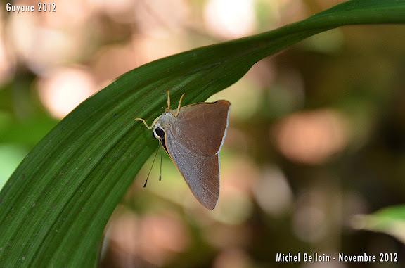 Euselasia lisias (CRAMER, 1777). Saül, novembre 2012. Photo : Michel Belloin