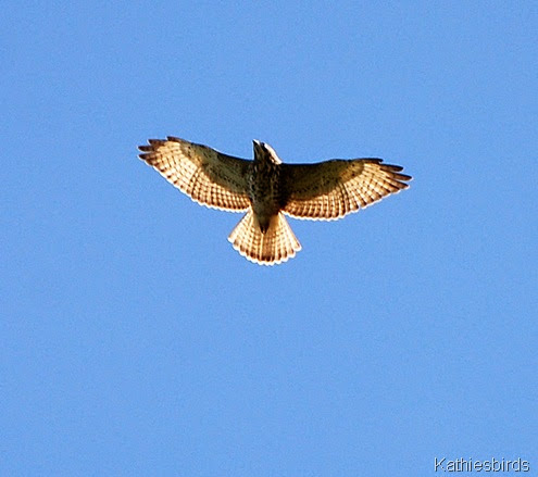 5. immature broadwing hawk-kab