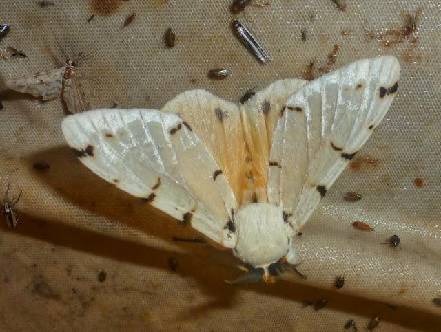 Lymantriidae : Lymantica velutina (MABILLE, 1879), endémique. Saha Forest Camp, Anjozorobe (Madagascar). 2 janvier 2014. Photo :