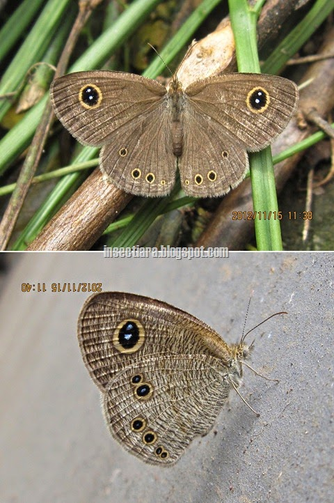 kupu-kupu common five ring (Ypthima baldus) betina