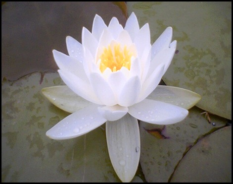 lotus_flower (1)