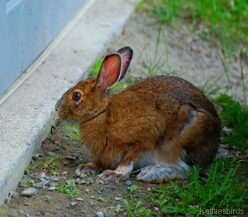8. Snowshoe hare-kab