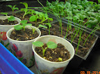 hollyhocks, green onions, mixed cabbage and fractal broccoli, pansies