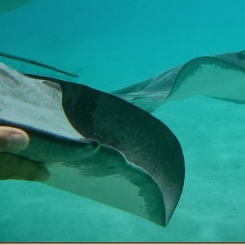 When life gives you lemons, grope stingrays