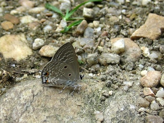 Anthene lunulata TRIMEN, 1894. Wli Falls, Agmatsa Wildlife Sanctuary (Ghana), 11 janvier 2006. Photo : Henrik Bloch