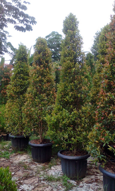 kami tukang taman minimalis menjual pohon pucuk merah dengan berbagai ukuran dan harga yang murah, tanaman pengganti pagar hidup