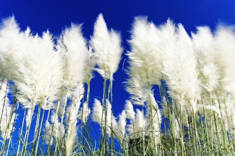 fluffy reeds