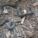 Southern Ringneck snake
