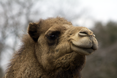 Camel Exotic Game Park Spring