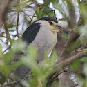 Black - crowned Night - heron
