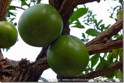 7249 Cruz Grande-La Filipina(Crescentia cuete-árbol de la Calabaza)